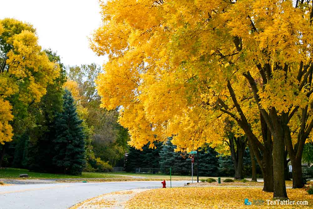 Street lined with golden ash trees.