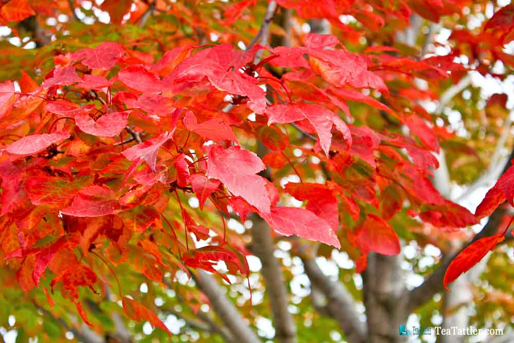 Red Amur Maple leaves