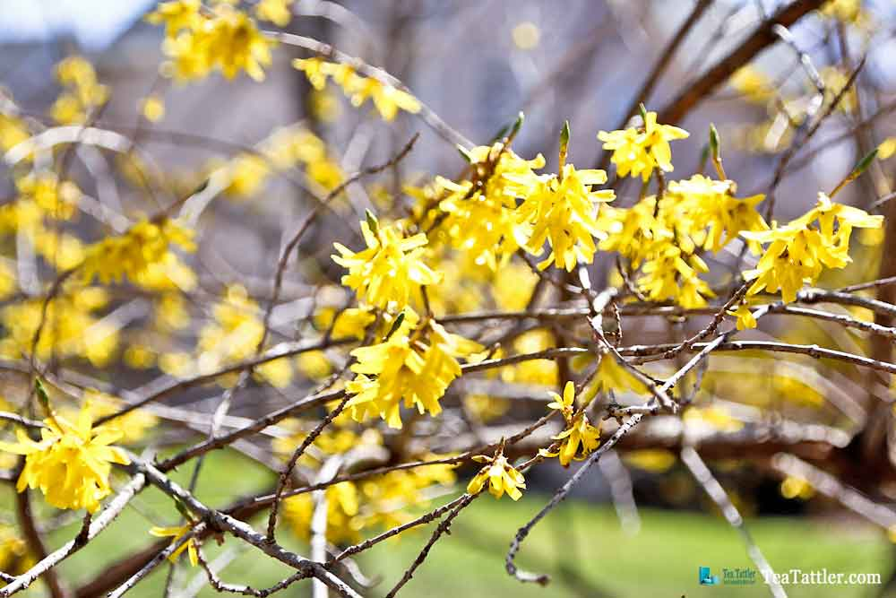 Pretty yellow flowers on our Forsythia bush. | TeaTattler.com #springtime